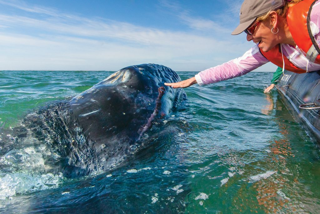 Discover the pure wildness of Baja California and the Sea of Cortez in the most exhilarating way possible—aboard Lindblad's 62-guest Baja cruise expedition ship.